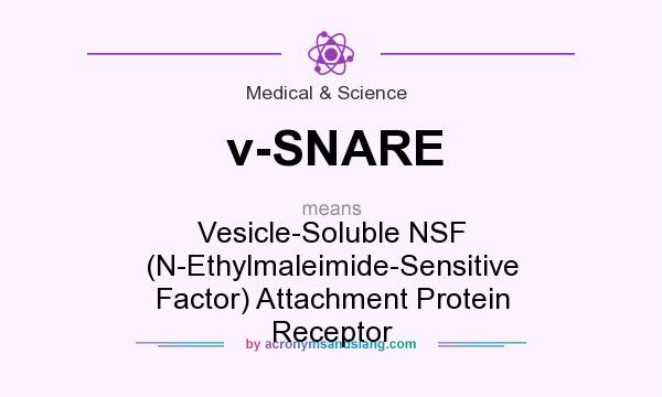 What does v-SNARE mean? It stands for Vesicle-Soluble NSF (N-Ethylmaleimide-Sensitive Factor) Attachment Protein Receptor